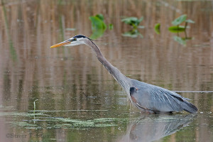The Great Blue Heron: A Reflection of the Health of Our Waters