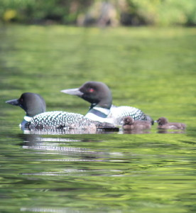 Silence on Maine's Lakes: Help Prevent Lead Poisoning of Our Loons
